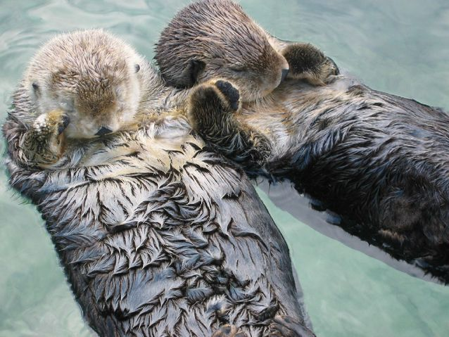 Sea_otters_holding_hands.jpg.638x0_q80_crop-smart.jpg